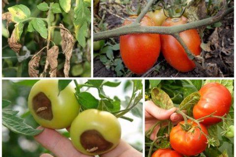 ТОП-10: главные болезни томата — 38 фото, признаки и причины