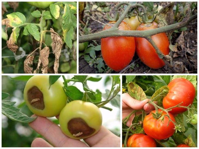 ВСЕ болезни томатов: фото, меры борьбы, препараты