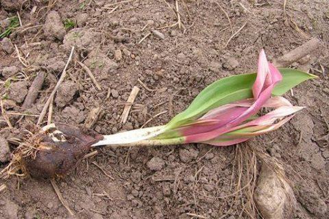 Основные болезни тюльпанов, как лечить самостоятельно — Da4nikPRO