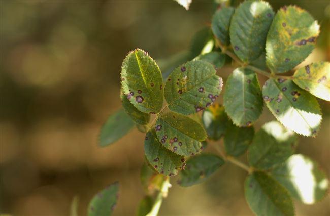 Вредители и болезни шиповника
