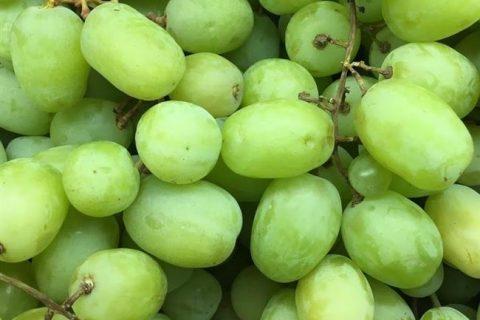Относится Августин к очень ранним столовым сортам. Период вызревания лозы и плодов—115 дней.