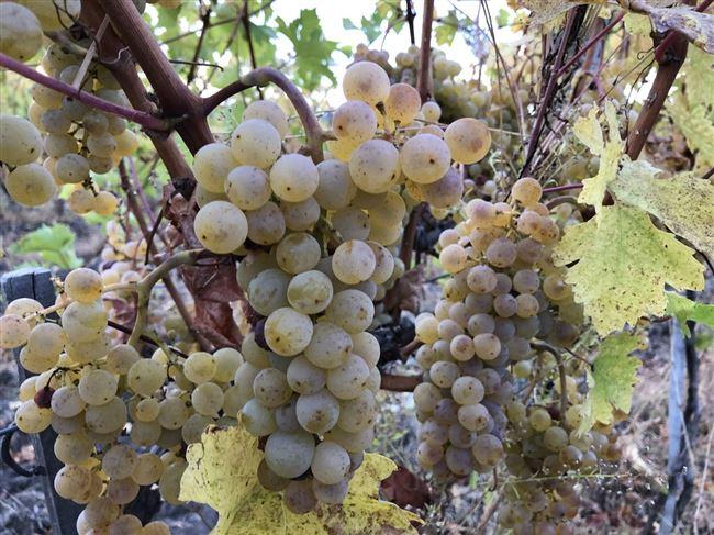Виноград Виорика: что нужно знать о нем, описание сорта, отзывы