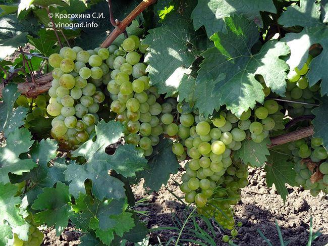 Особенности сорта винограда Галант