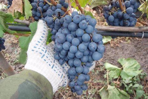 Виноград Гурзуфский Розовый: описание и характеристики сорта, особенности ухода и фото