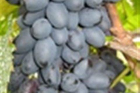 2021 ᐈ 🔥 (+30 фото) Виноград Декабрьский: размножение, посадка и уход