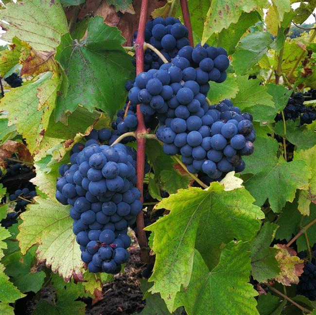 Виноград Дойна