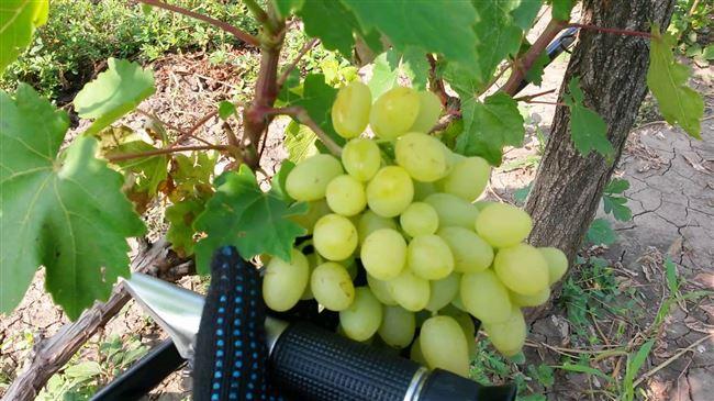 Виноград долгожданный фото описание сорта отзывы о кишмише видео