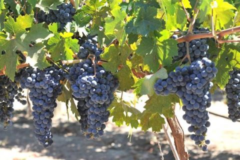 Лучшие сорта винограда: рейтинг топ-15 по версии КП