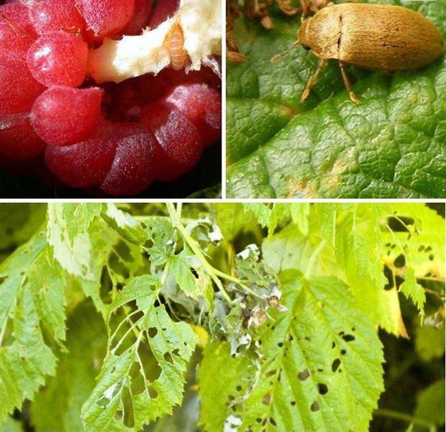 Вредители малины: как с ними бороться летом и осенью