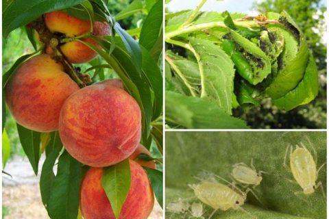 Болезни и вредители персика и нектарина: виды, признаки поражения, лечение, весенняя профилактическая обработка
