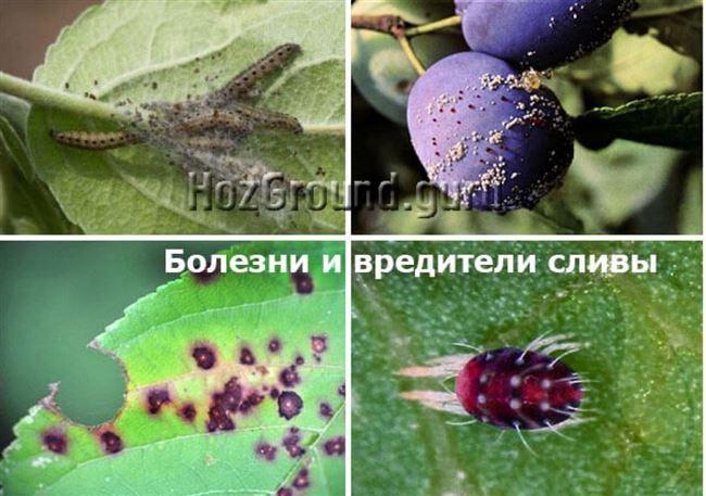 Вредители сливы: описание вредных насекомых с фото, профилактика и способы борьбы