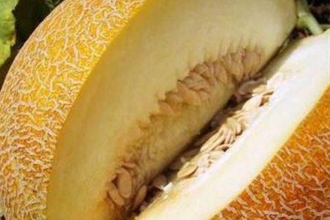 Южанка — сорт растения Дыня