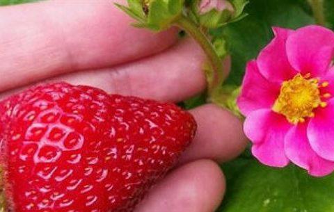Клубника Розовая мечта: описание сорта, посадка, советы садоводов