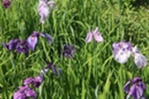Клавдия Попова — сорт растения Ирис