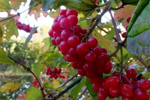 В русской культуре, как известно, чаще других упоминаются две ягоды. Малина олицетворяет собой сладкую счастливую жизнь. А калина – горькую судьбинушку. В основе этого сравнения лежит вкус плодов. Но ученые решили сломать стереотипы, и вывели несколько сортов калины, у которых нет горечи. Ягоды