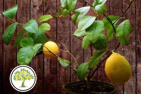 Сорт лимона Мейер (Лимон Мейера): фото, отзывы, описание, характеристики.