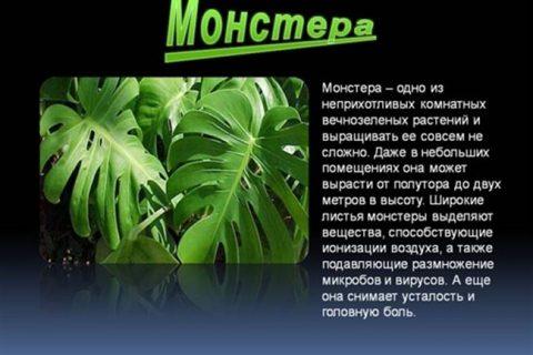 Вы увидите самые красивые монстеры в мире, узнаете о её видах и сортах. Узнаете почему нельзя держать монстер дома полюбуетесь на фотографии различных видов этого растения.