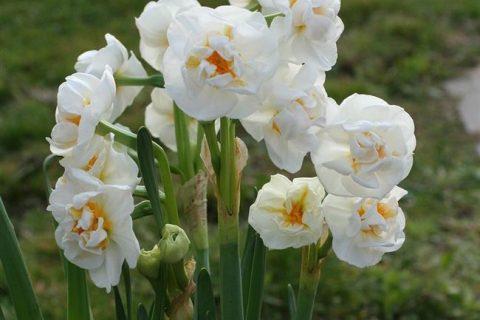 Апофеоз — сорт растения Нарцисс