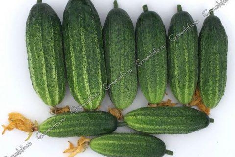 Приобретение семян огурцов выходит на финишную прямую. Многие, как и я, уже запаслись любимыми семенами и последними новинками.