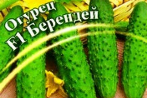 Характеристика огурцов сорта берендей | Lifestyle | Селдон Новости