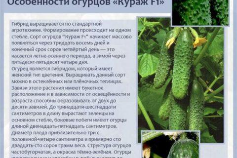 огурцы Газель F1 (гибрид) фото, характеристики, описание, семена