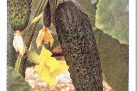 Огурец Карнавал F1 (Код: 3949)   Семена Овощей  Н-О. Семена овощей