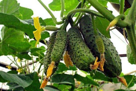 Огурцы Метелица f1: отзывы, описание и фотографии, посев, посадка и выращивание, болезни и вредители