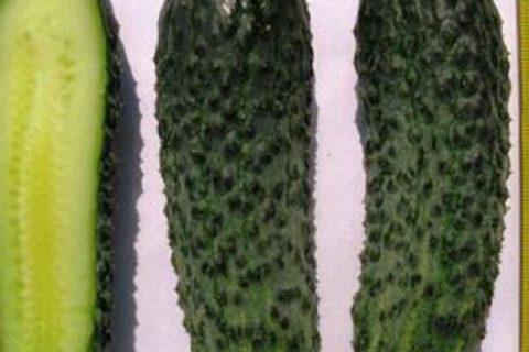 Огурец Монисия F1: описание, урожайность сорта, отзывы, фото