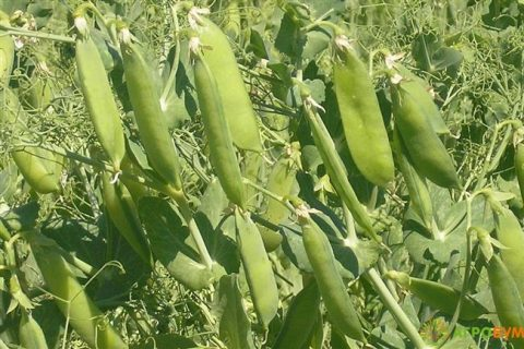 5250 руб. Горох Бутана F1. 100 000 семян. Nunhems. Горох овощной средне-поздний, урожайный. Растение почти без листьев. Продажа по всей России! Быстрая доставка!