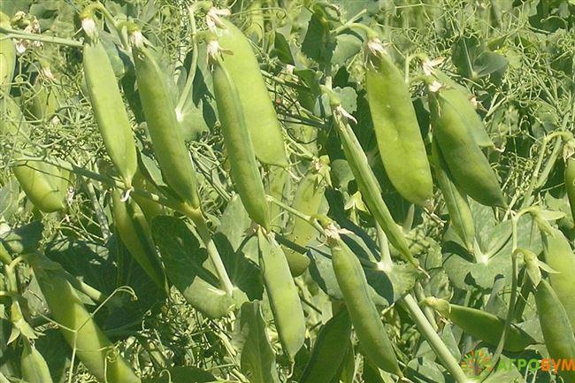 Горох Бутана F1. 100 000 семян. Nunhems. Горох овощной средне-поздний, урожайный. Растение почти без листьев