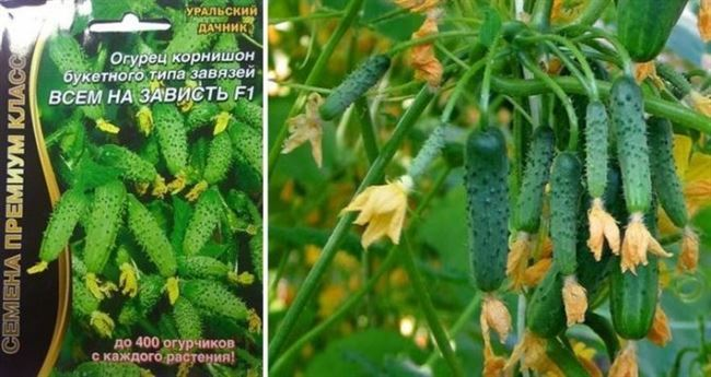 Огурец Аскер f1 – гибрид со вкусными плодами, который подходит для культивирования в различных условиях