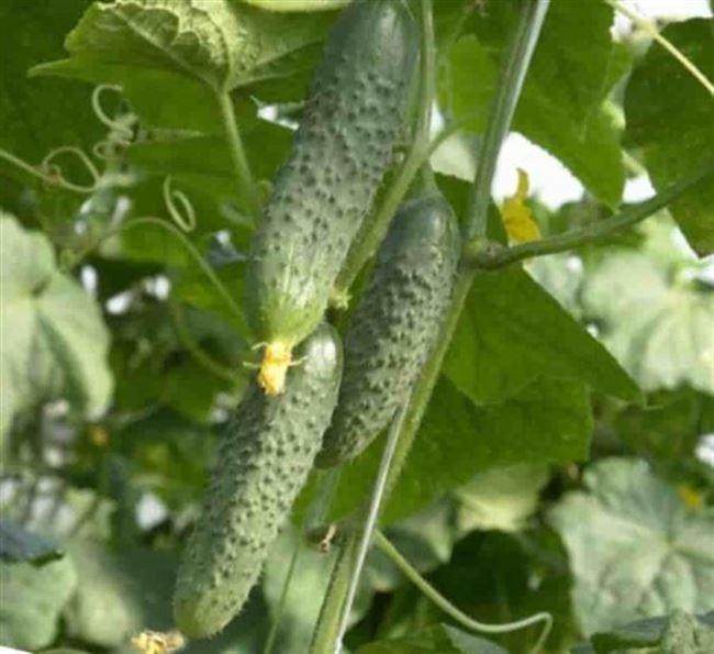 Высокоурожайные ранние голландские огурцы «Пасадена f1»