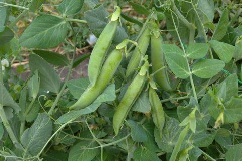 Сорт Глориоза: как прорастить и сажать овощной горох в домашних условиях