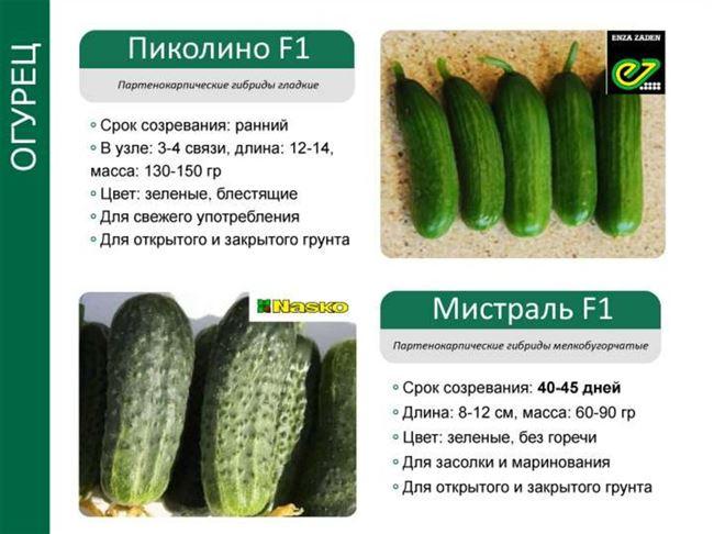 Огурец ПИКОЛИНО F1 / PICOLINO F1 Enza Zaden