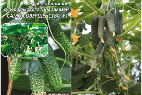 Полет — сорт растения Огурец