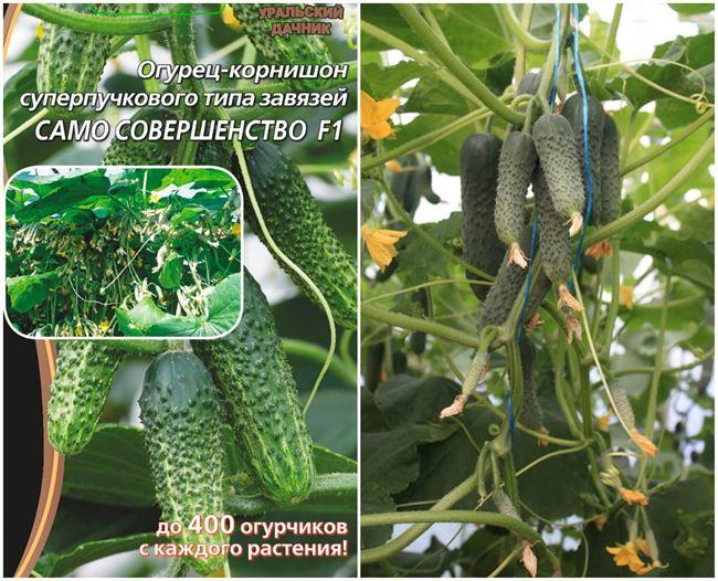 Полет - сорт растения Огурец