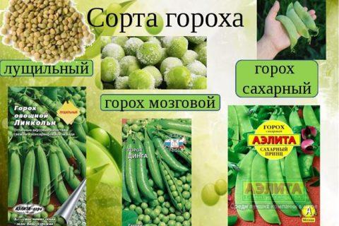 Горох  овощной Тристар  описание сорта, фото. Каталог семян Биотехника.