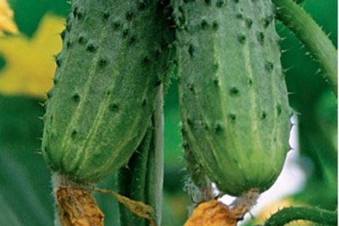 Фото, видео, описание, посадка, характеристика, урожайность, отзывы о гибриде огурцов «Сахарный Малыш F1» с длительным периодом плодоношения.