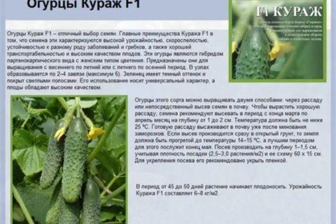 Тсха 3707 — сорт растения Огурец