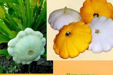 Выращивание патиссонов и уход за ними, в том числе в домашних условиях, а также описание сортов с характеристикой и отзывами