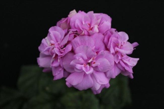 Сиреневый Туман - сорт растения Пеларгония крупноцветковая
