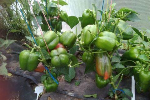 Перец «Латино» F1: характеристика и описание сладкого сорта, выращивание и уход