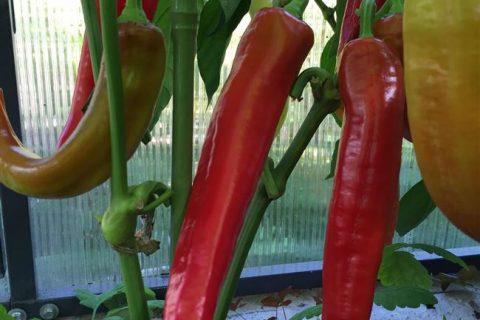 Перец Питон, фото, видео, описание растения, урожайность сорта, отзывы тех, кто выращивал