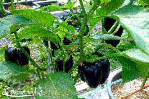 Перец Черный конь: описание сладкого сорта и характеристика, фото куста в высоту, отзывы