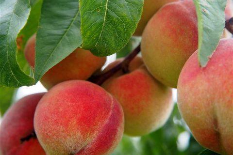 Персик сорт бархатный описание. Зимостойкие сорта персиков. В средней полосе России