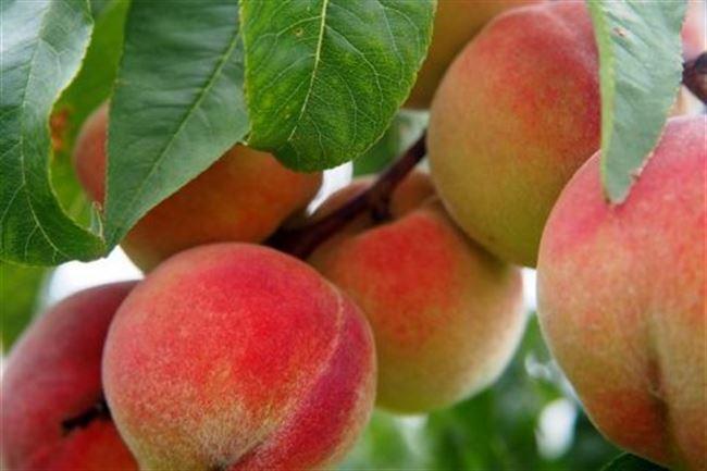 Персик юбилейный описание