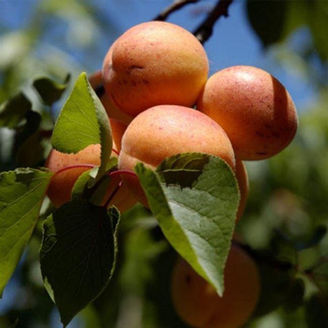 Посадка абрикоса и уход.
