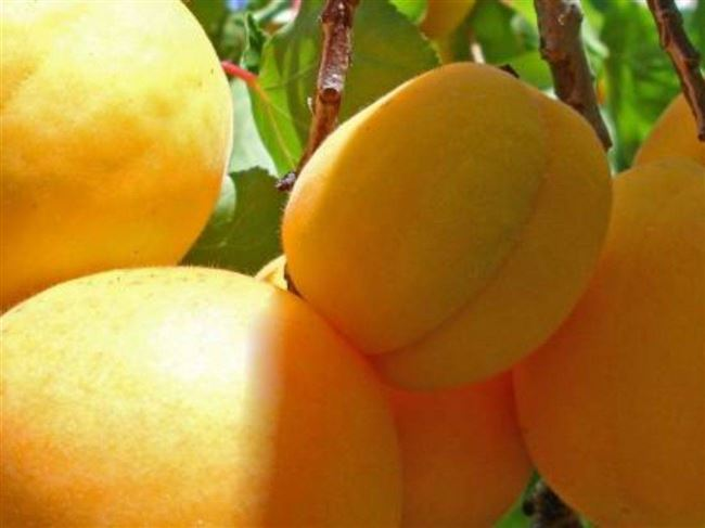 Характеристика абрикоса Ананасный