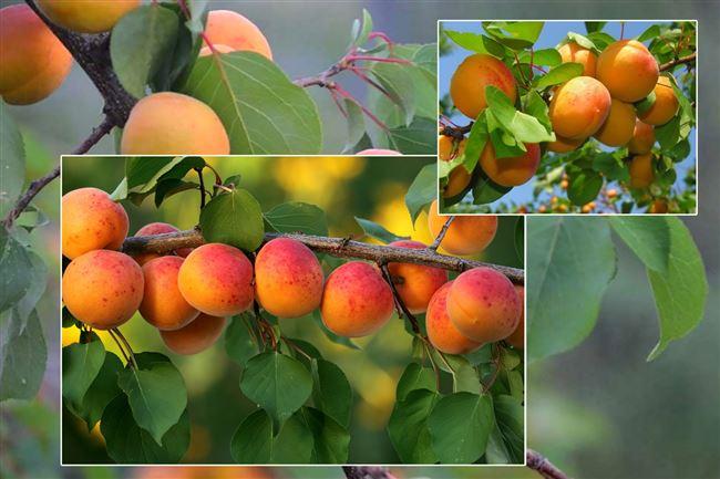 Размножение абрикоса