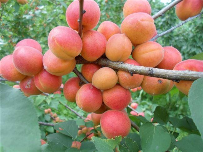 Отзывы об абрикосе сорта Горный Абакан